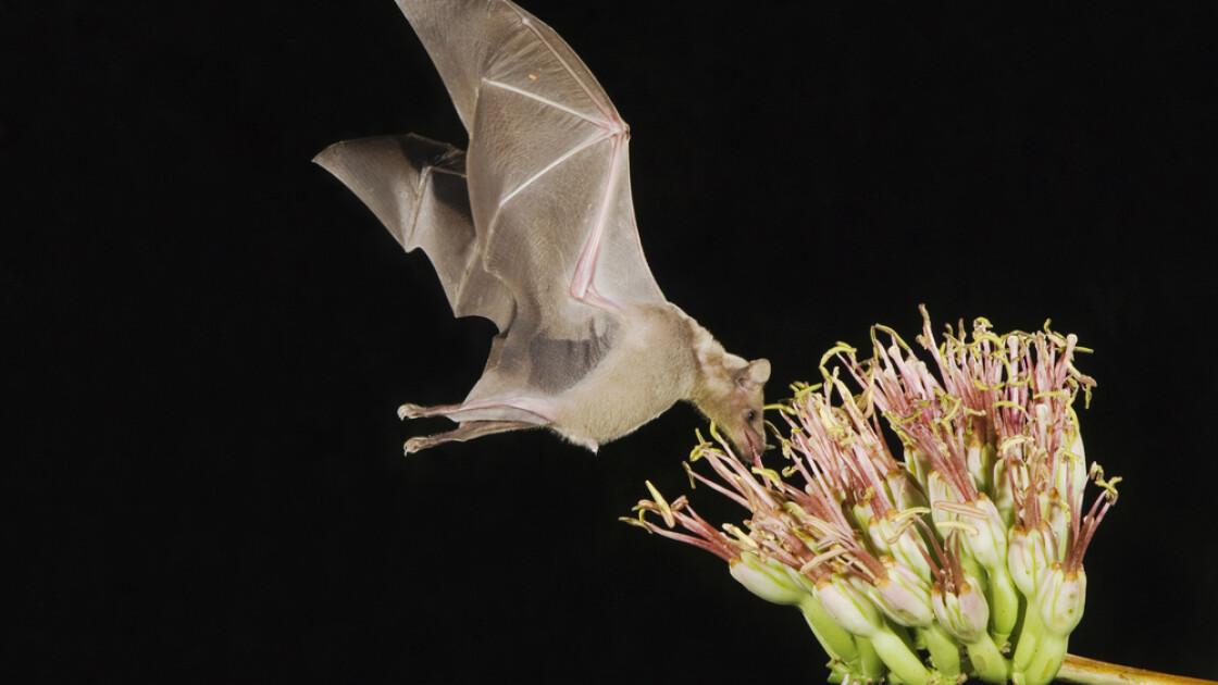 Летучая «мышь-колибри» Leptonycteris yerbabuenae над цветком агавы / Shutterstock