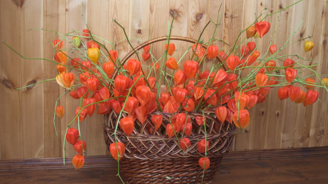 Фізаліс звичайний (він же садовий або декоративний, лат. Physalis alkekengi) — рослина надзвичайно привабливе. А в зимовому букеті і зовсім безцінний: його червоно-помаранчеві «ліхтарики» здатні зберігатися роками, практично не втрачаючи забарвлення/Shutterstock