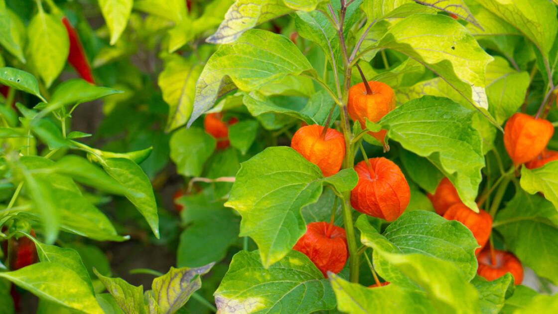 Перуанський фізаліс майже так само ошатний, як і його неїстівний садовий «родич». У міру дозрівання ягід, що містять їх, «ліхтарики» набувають все більш виражене жовто-оранжеве забарвлення, остаточно висихаючи на піку своєї краси/Shutterstock