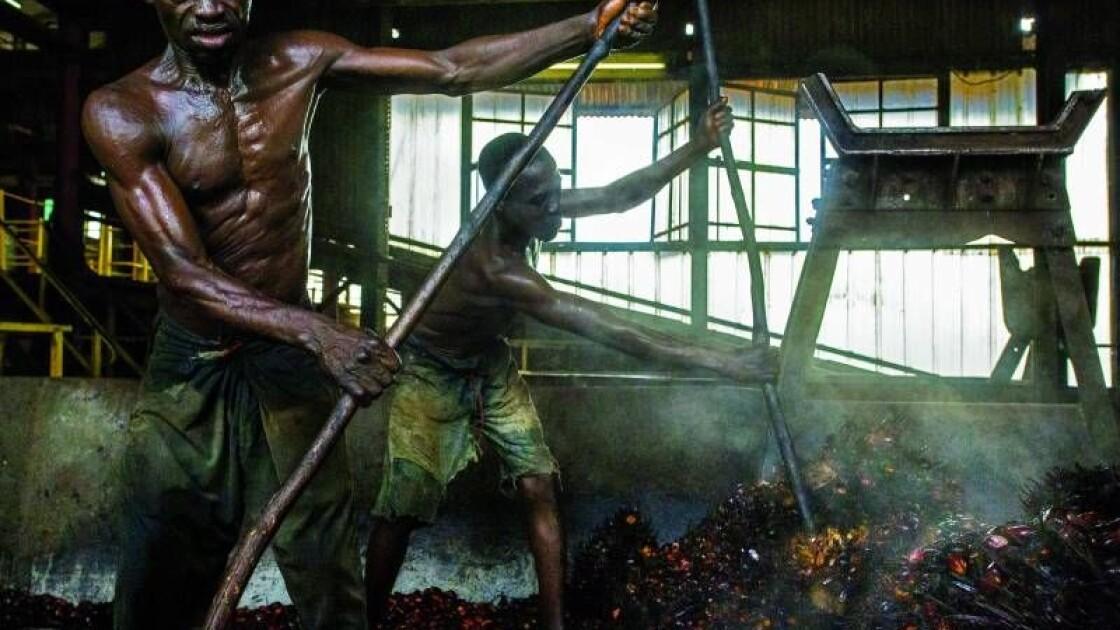 Так у Демократичній Республіці Конго виглядає перший етап промислового виробництва пальмової олії, на якому пропарені грона пальмових фруктів відправляють під прес / National Geographic