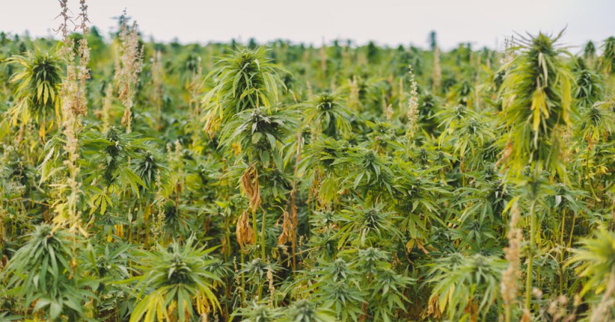 запах дыма от марихуаны