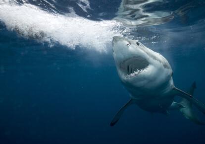 Велика біла акула — найнебезпечніший хижак океану