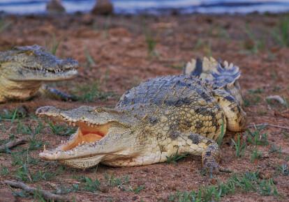 ПАР планує поставляти м'ясо крокодилів в Україну
