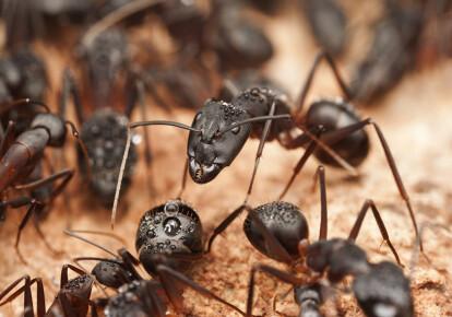 Деякі види мурашок володіють потужною отрутою. Фото: Shutterstock