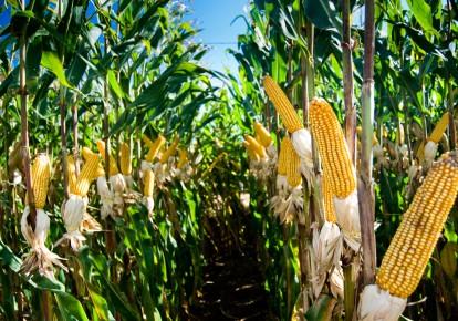 Мінекономіки пропонує виробляти біогаз з кукурудзи