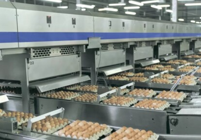 Виробництво яєць. Фото: Латифундист