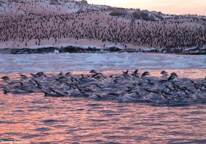 Науковці помітили рекордні для цього сезону скупчення пінгвінів