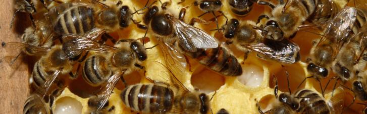 """Пчелы """"воскресли"""" после неудачной поездки """"Укрпочтой"""""""
