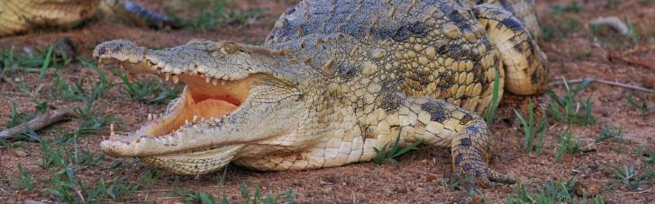 Привіт з Лімпопо. Чи зможе ПАР нагодувати українців крокодилами
