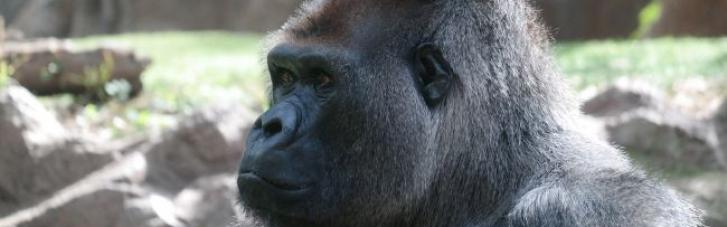 В США в зоопарке обнаружили вспышку коронавируса среди горилл