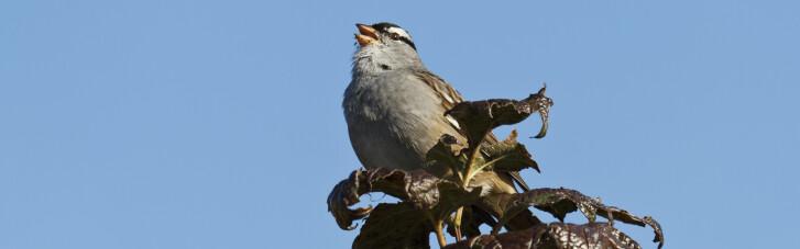 Пойте тише. Как коронавирус сделал сексуальнее птиц в Сан-Франциско