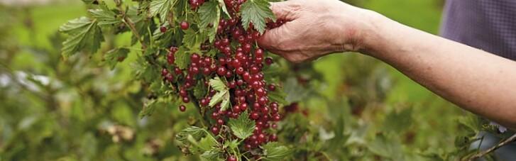Украинская ягода в цене. Когда смородина сможет конкурировать с пшеницей (ИНФОГРАФИКА)