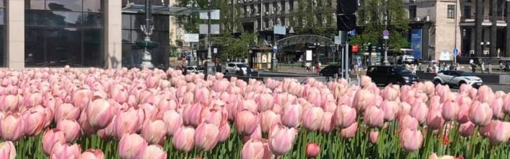 На центральных площадях Киева расцвели 100 тысяч тюльпанов, высаженных в честь героев Небесной сотни (ФОТО)