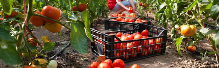 Тепличное дело. Когда турецким помидорам не найдется места зимой на полках наших магазинов (ИНФОГРАФИКА)
