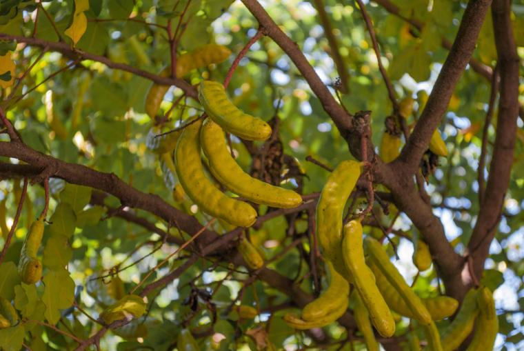 Плоды рожкового дерева