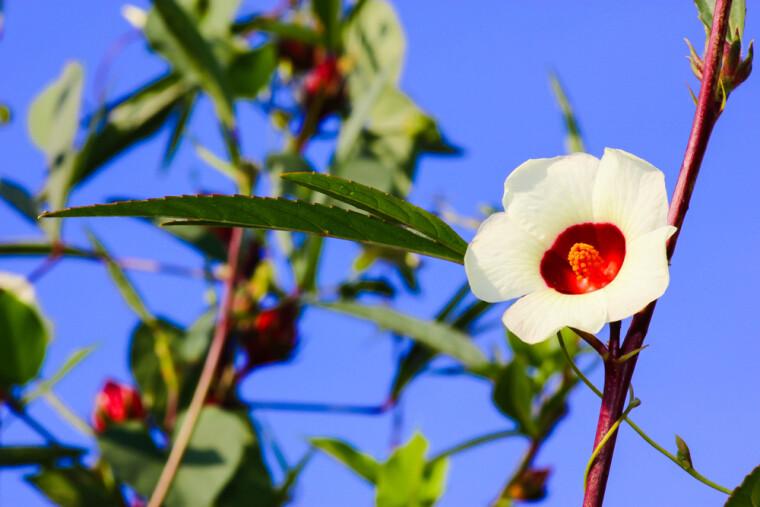 Светлые цветы суданской розы, подобно нашим «крученим паничам»,  живут всего день. Но их увядание — залог появления сочного «розанчика» каркаде