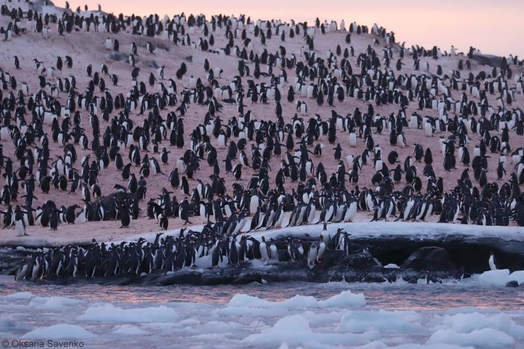Цього року неподалік станції пінгвіни з'являються хвилями