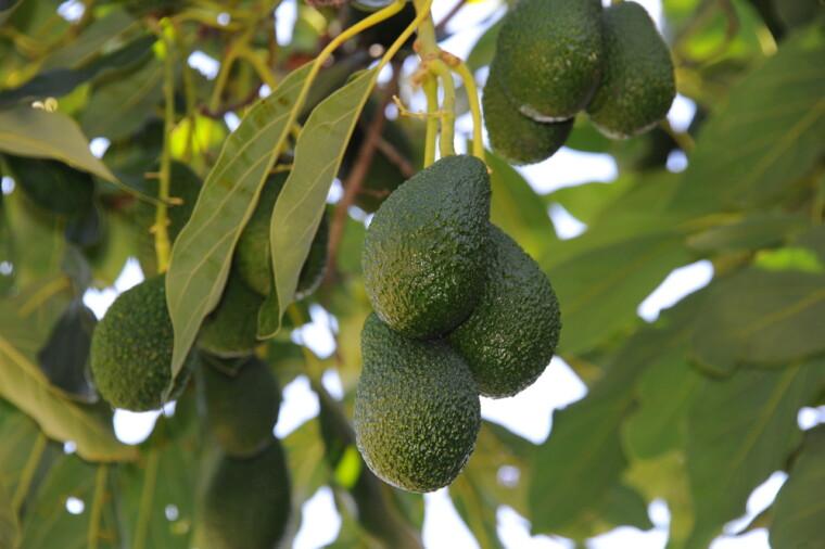 Авокадо на дереві