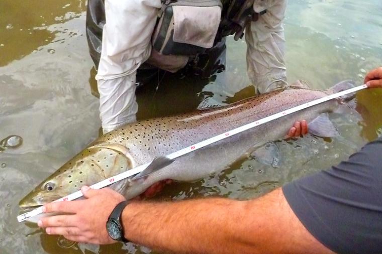 Дунайский лосось (лат. Salmo hucho или Hucho hucho) – эндемик Дунайского бассейна и одна из крупнейших рыб горных рек (длина до 1,8 метра, вес до 60 кг). Считается реликтовой формой тайменя. Находится под международной охраной / sanfishing.comowacica