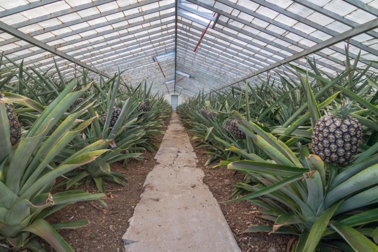 Так выглядят ананасы, растущие в теплице