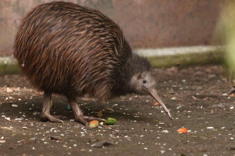 Живой символ Новой Зеландии птица киви чем-то напоминает одноименный фрукт