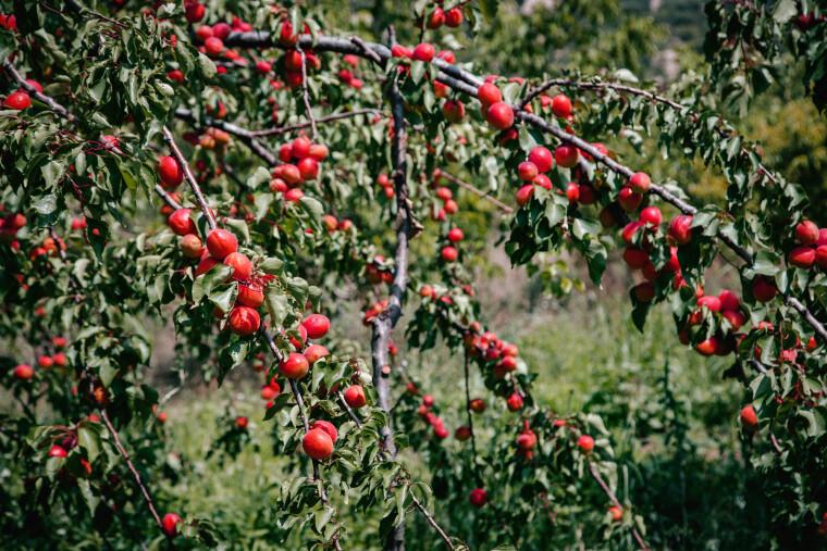 Нектариновые сады в период плодоношения выглядят ярко и нарядно