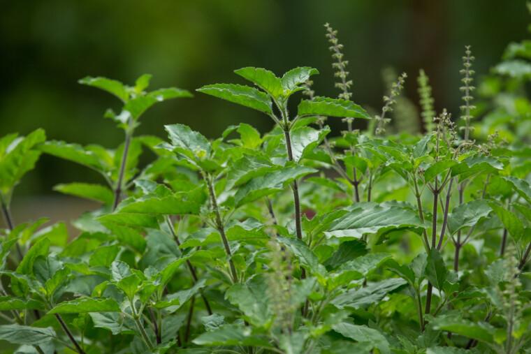 """Туласі — одне з часто використовуваних імен тонкоцвітного базиліка Ocimum tenuiflorum, також званого священним. На відміну від багатьох """"родичів"""", він є не однорічною, а багаторічним рослиною. Фото: Shutterstock"""