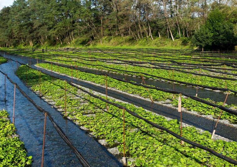 В природе васаби (лат. Eutrema japonicum) предпочитает селиться в течении холодных горных рек