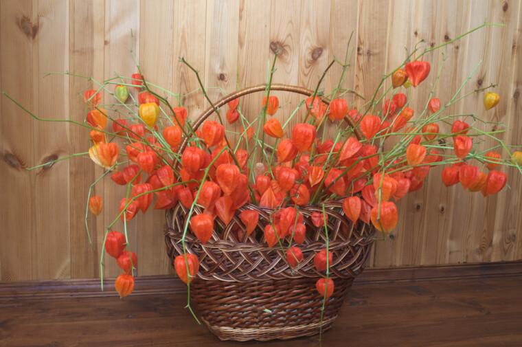 Физалис обыкновенный (он же садовый или декоративный, лат. Physalis alkekengi) — растение чрезвычайно привлекательное. А в зимнем букете и вовсе бесценное: его красно-оранжевые «фонарики» способны сохраняться годами, практически не теряя окраски / Shutterstock