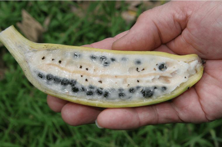Попробовав самые десертные «бананы изначальные», современный человек был бы шокирован обилием в них семян. Дикий фруктовый банан (он же банан Бальбиса, лат. Musa balbisiana) именно таков