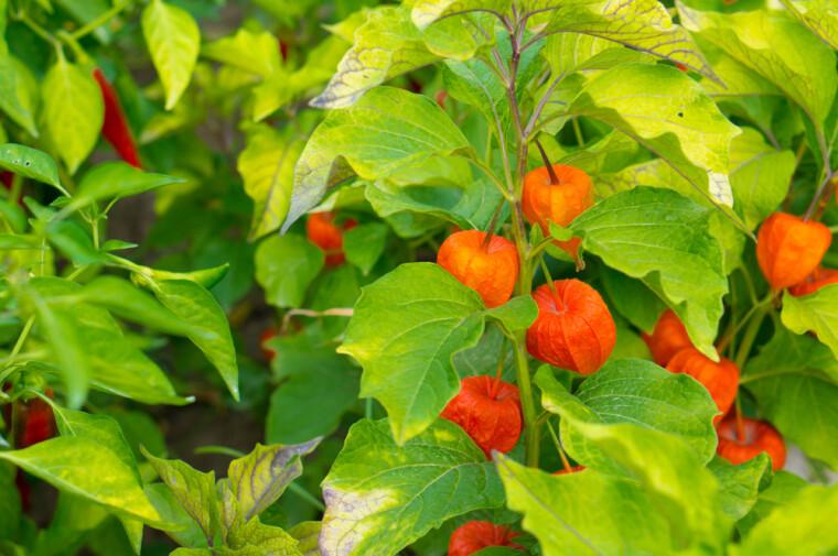 Перуанский физалис почти так же наряден, как и его несъедобный садовый «родственник». По мере созревания ягод, содержащие их «фонарики» приобретают все более выраженную желто-оранжевую окраску, окончательно высыхая на пике своей красоты / Shutterstock