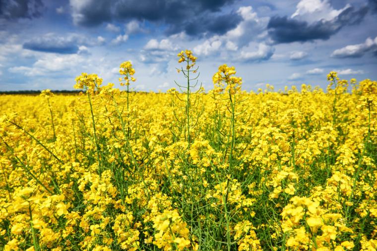 В силу существования озимых и яровых сортов рапса, увидеть его солнечные поля можно в течение всего сельскохозяйственного сезона