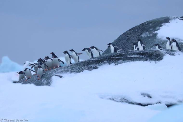 Переважно помічають субантарктичних пінгвінів або пінгвінів Аделі