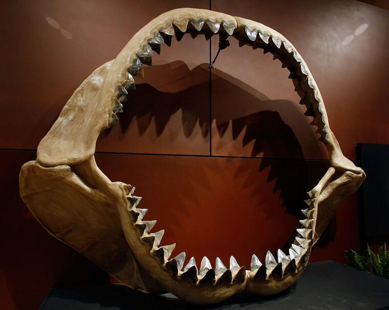 Одна з найбільших у світі щелеп акули, що складається з близько 180 скам'янілих зубів доісторичного вигляду, мегалодона Carcharocles, який виріс до розмірів шкільного автобуса