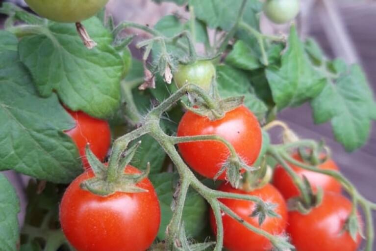 Телеведучий Олег Панюта поділився досвідом вирощування домашньої городини
