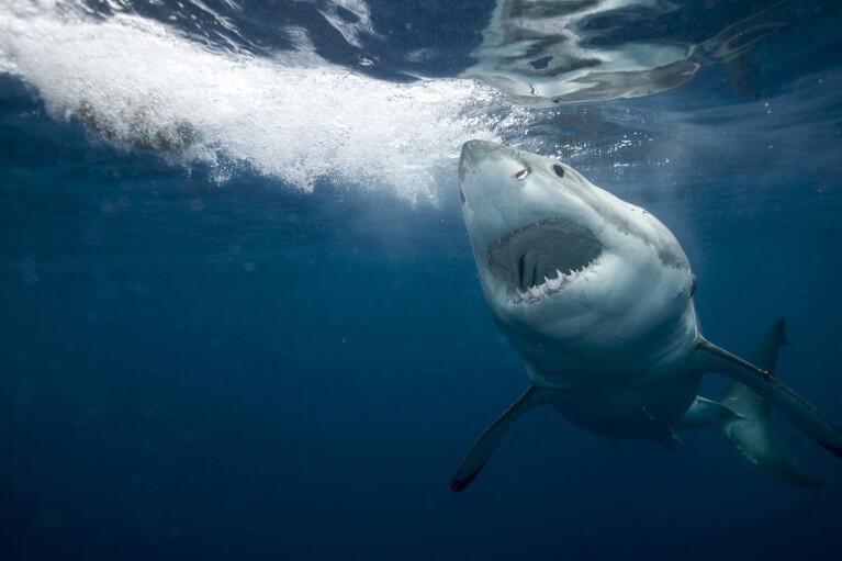 Жестокость с младенчества. Почему акулы-гиганты стали гигантами
