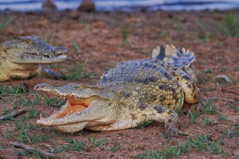 Привет из Лимпопо. Сможет ли ЮАР накормить украинцев крокодилами