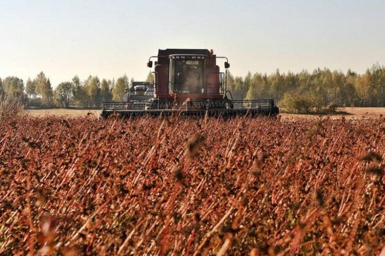 В Україні зібрали рекордний врожай гречки
