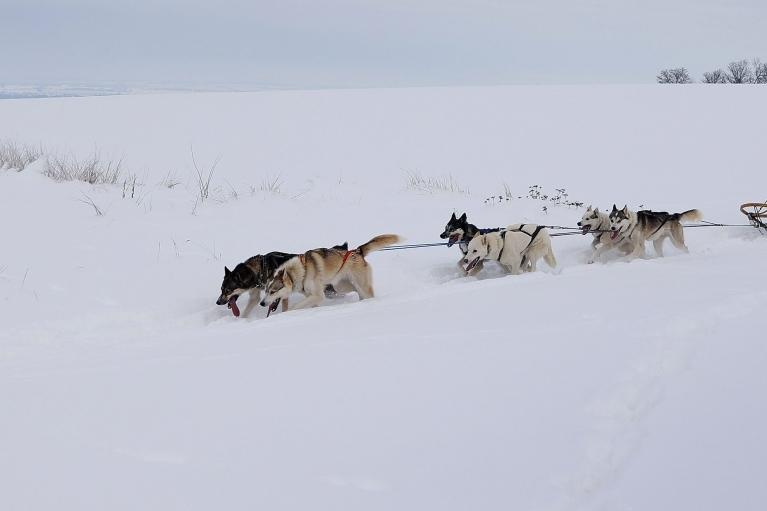 Торговля в ДНК. О чем ученым поведали кости собак из Арктики