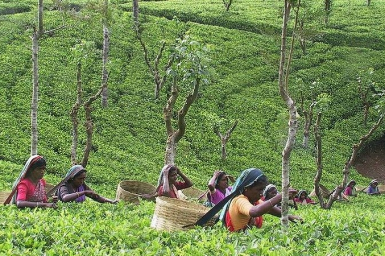 Мировой рынок чая на грани кризиса из-за засухи и COVID-19