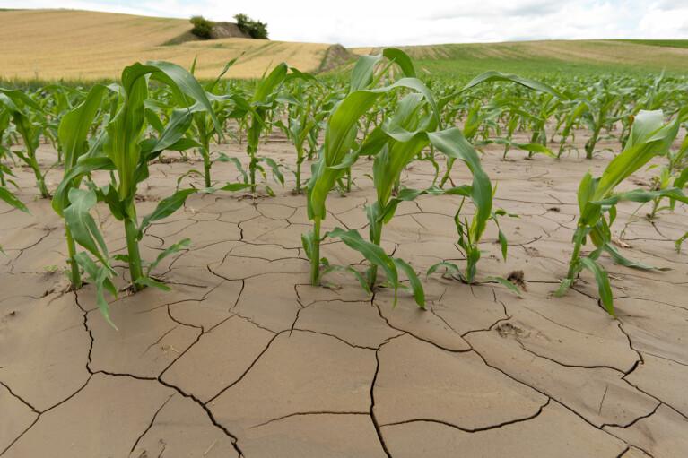Украина уже не та.  Как гибридные сорта спасают аграриев при засухе