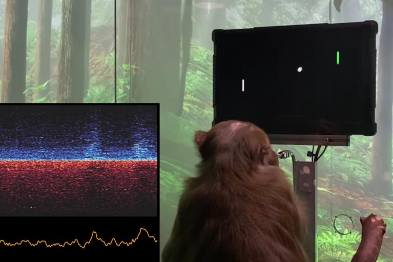 У Маска показали, как обезьяна с чипом в мозге играет в видеоигру