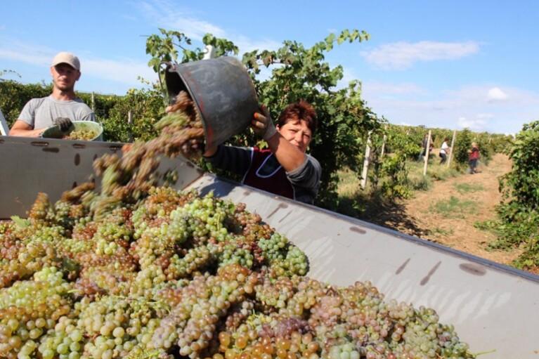 Пока без Крыма.  Что поможет возродиться украинскому виноградарству (ИНФОГРАФИКА)