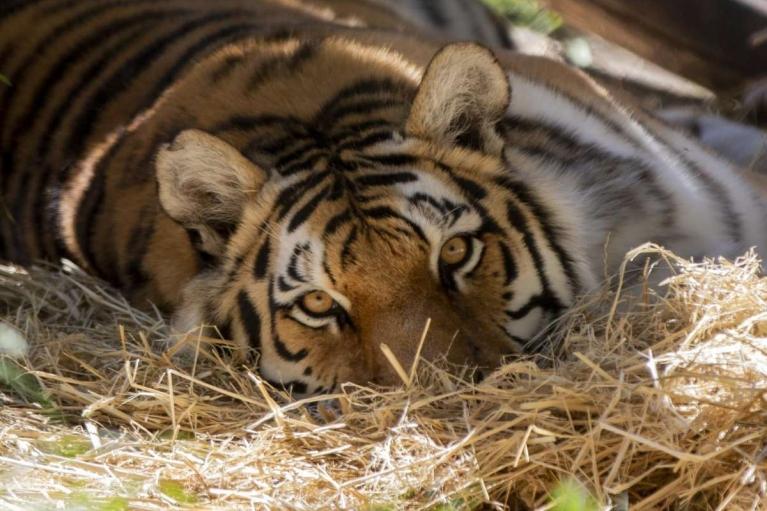 В Крыму тигр покалечил годовалого ребенка