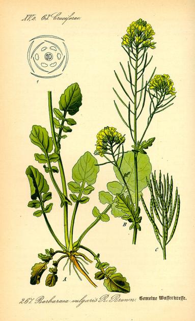 "Сурепка на иллюстрации из немецкого ботанического справочника ""Flora von Deutschland, Österreich und der Schweiz"", 1885 г."