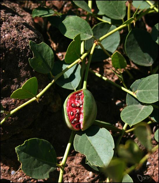 Спелый плод каперса колючего напоминает миниатюрный арбуз с чрезвычайно сладкой мякотью / mytashkent.uz