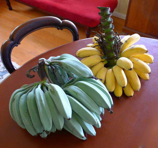 Современные десертные бананы группы кавендиш могут быть не только зелеными, желтыми и красными, но даже голубыми — как сорт «Blue Java»